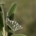 GREEN-STRIPED WHITE, Montejaque