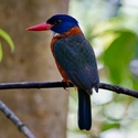 GREEN-BACKED KINGFISHER, Tangkoko