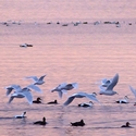 Glaucus Gulls and Eider