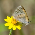 Gold-borded Hairstreak
