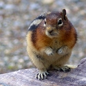 Golden Mantled Ground Squirrel at Storm Mountain Lodge, Canadian Rockies