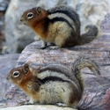 Golden Mantled Ground Squirrels, Canadian Rockies