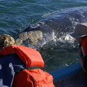 Gray Whale from the Skiff