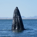 Gray Whale spy-hopping