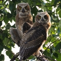 Great Horned Owl Youngsters
