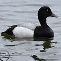breeding drake Greater Scaup