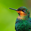 Green-crowned Brilliant portrait