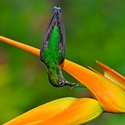 Green-crowned Brilliant on Heliconia