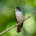 Green-throated Mountain-gem