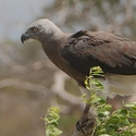 Grey-headed Fishing Eagle
