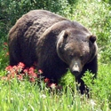 Grizzly Bear and Paintbrushes, Canadian Rockies