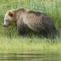 Grizzly by the water, Knights Inlet, , Vancouver Island