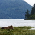 Grizzly Bear, Knights Inlet, Vancouver Island