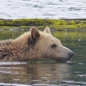 Grizzly Bear swimming, Knights Inlet, Vancouver Island