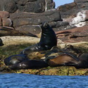 Gaudalupe Fur Seals