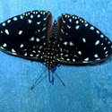 BLUE CRACKER, Paujil