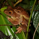 HARLEQUIN TREE FROGS, Danum