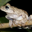 GLADIATOR TREE FROG, Paujil