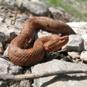 Haly's Pit Viper, Tien Shan Mountains