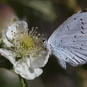 Holly Blue, Pyrenees