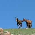 Horses, Tien Shan Mountains