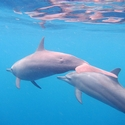 Bow-riding Dolphins - Bismarck Archipelago