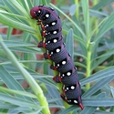 Spurge Hawk Moth caterpillar