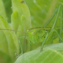 Large Speckled Bush-cricket