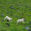 Icelandic lambs, sheep playing in lava field