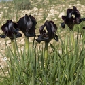 Iris atrofusca group