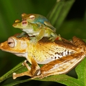 JADE TREE FROGS ON FILE-EARED TREE FROG, Danum