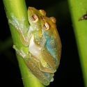 JADE TREE FROGS, Danum
