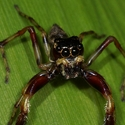 Jumping Spider, Papua New Guinea