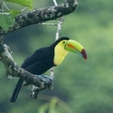 KEEL-BILLED TOUCAN, Laguna Lagartos