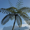 TREE FERNS AND MOUNT KINABALU