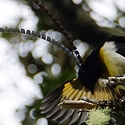 King of Saxony Bird of Paradise, Papua New Guinea
