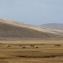 Landscape with grazing Kiang