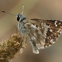 Large Grizzled Skipper