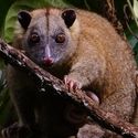 Lowland Ringtail Possum, Papua New Guinea