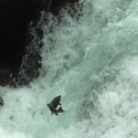 Leaping Salmon, Stamp Falls
