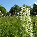 Lesser Butterfly Orchid, Oja church meadow, Gotland