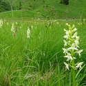 Lesser Butterfly Orchids, the Dolomites