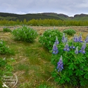 Lupins -
