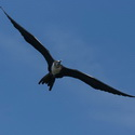 MAGNIFICENT FRIGATEBIRD, Tempisque