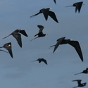 MAGNIFICENT FRIGATEBIRDS, Tempisque