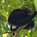 MANTLED HOWLER - MALE!, Bosque del Cabo