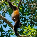 MANTLED HOWLER, Bosque del Cabo
