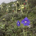 MECONOPSIS HENRICI, INTEGRIFOLIA & PUNICEA, Huanglong