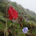 MECONOPSIS PUNICEA AND HENRICI, Quiji Pass