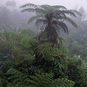 Tree Ferns, Papua New Guinea